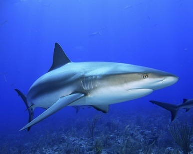 Haifischknorpel … Verwendung und Vorteile für die Gelenke