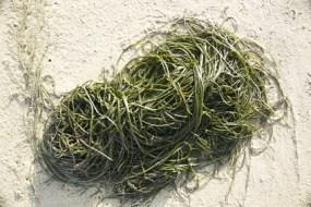 Fucus Alge zum Abnehmen