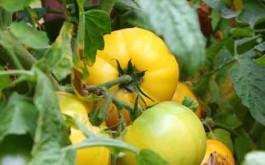 """Tomate """"Milka"""""""