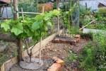 8 junge Trauben weiss blau im Permakultur-Garten