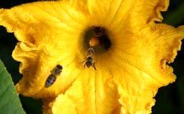 Bienen auf Kϋrbisblϋte