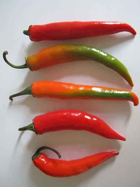 Chili Paprikaschoten