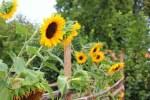 Sonnenblumen Kerne sind im Brot mit Samen und Kernen