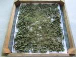 Brennessel Samen noch nachtrocknen auf Netzen mit Papier