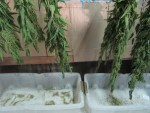 Viel Arbeit bis Brennessel Samen im Honig fertig sind