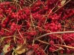 gesammelte Schneeball Beeren vor dem Frosten bei -20 C
