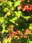 reife diesjaehrige Schneeball Beeren & Schwarze vom letzten Jahr