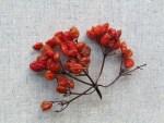 so sind Kaline Beeren ideal beim Sammeln: Hellrot u halb angetrocknet