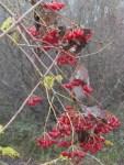 Schneeball Beeren sammeln an diesem kalten November Tag