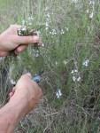 Bergbohnenkraut ernten in der Natur