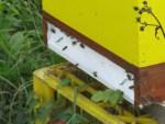 fleissige Bienen arbeiten fuer unsere Brennessel Samen im Honig