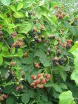 Fruchtwähe unsere Brombeeren