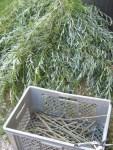 junge Stickel von Silberweide geschnitten fuer Weidenrinden Essenz