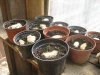 Samen erfolgreich keimen lassen - Die beste Methode Samen, Ingwer im Topf