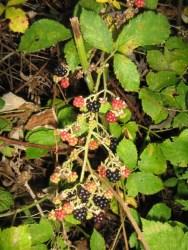 Märchen Dornröschen wilde Brombeeren schwarze rote gruene