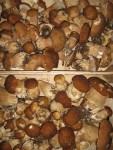 soeben eingetroffen frische Steinpilze vom Pilzsammler