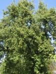Birnensaft stammt von Nachbar's altem Birnbaum