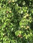 viele Birnen haengen am alten Birnbaum vom Nachbar
