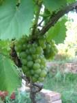 weisse Trauben vor der Ernte in unserem Permakultur Anwesen