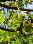die letzten reifen weissen Trauben zum Essen
