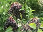 reife Holunderbeeren zum Ernten in der Natur