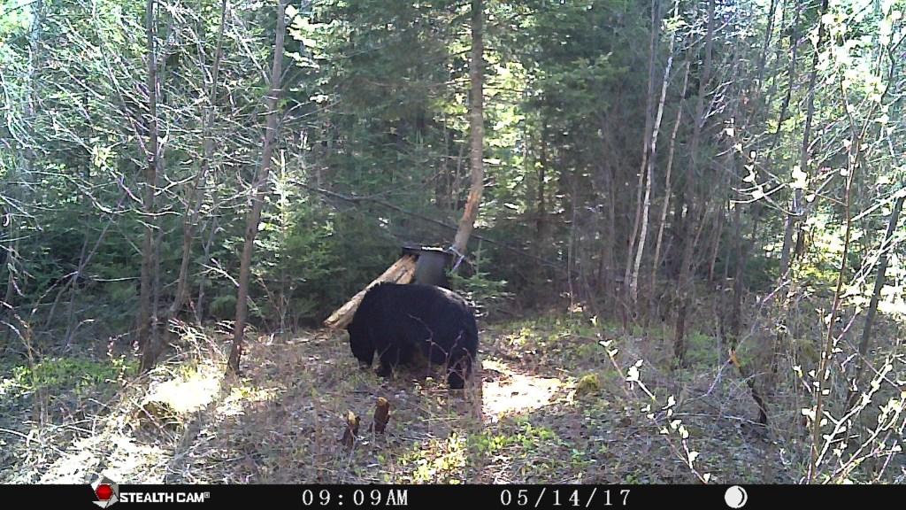 bear at baits 2017