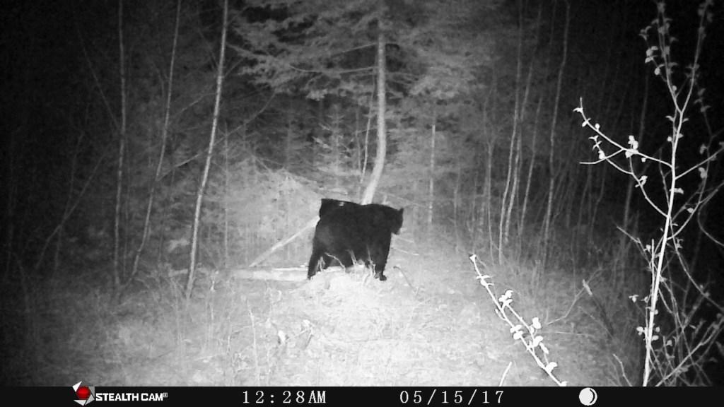 bear at baits in 2017