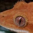 Gekkoninae2