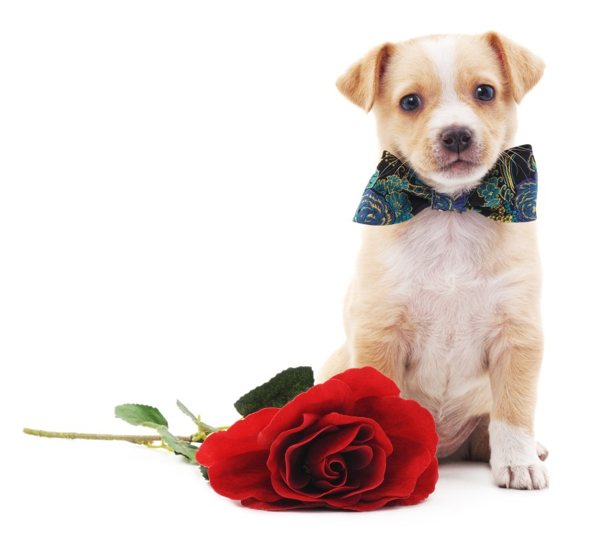 Puppy with a rose.