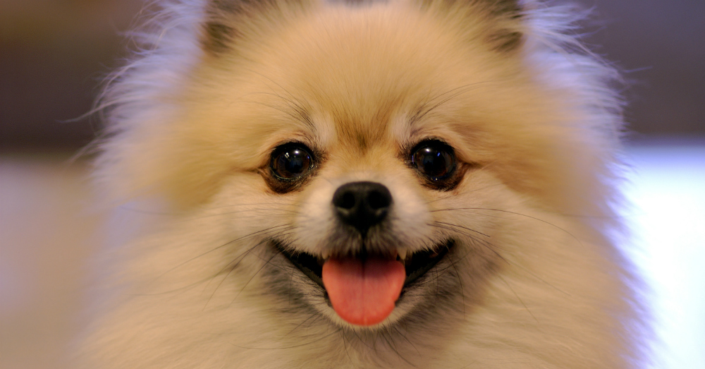 08.18.16 - Cure Pomeranian