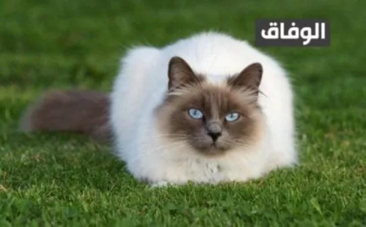 انواع القطط في الجزائر