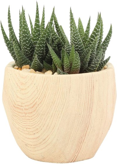 Amazon: Costa Farms Haworthia Succulent Grower's For $20.54 (Reg. 23.99)
