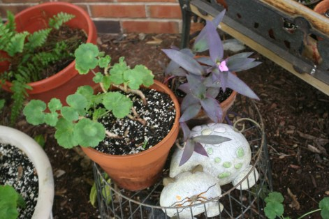Geranium&Moses-in-the-CradlePots