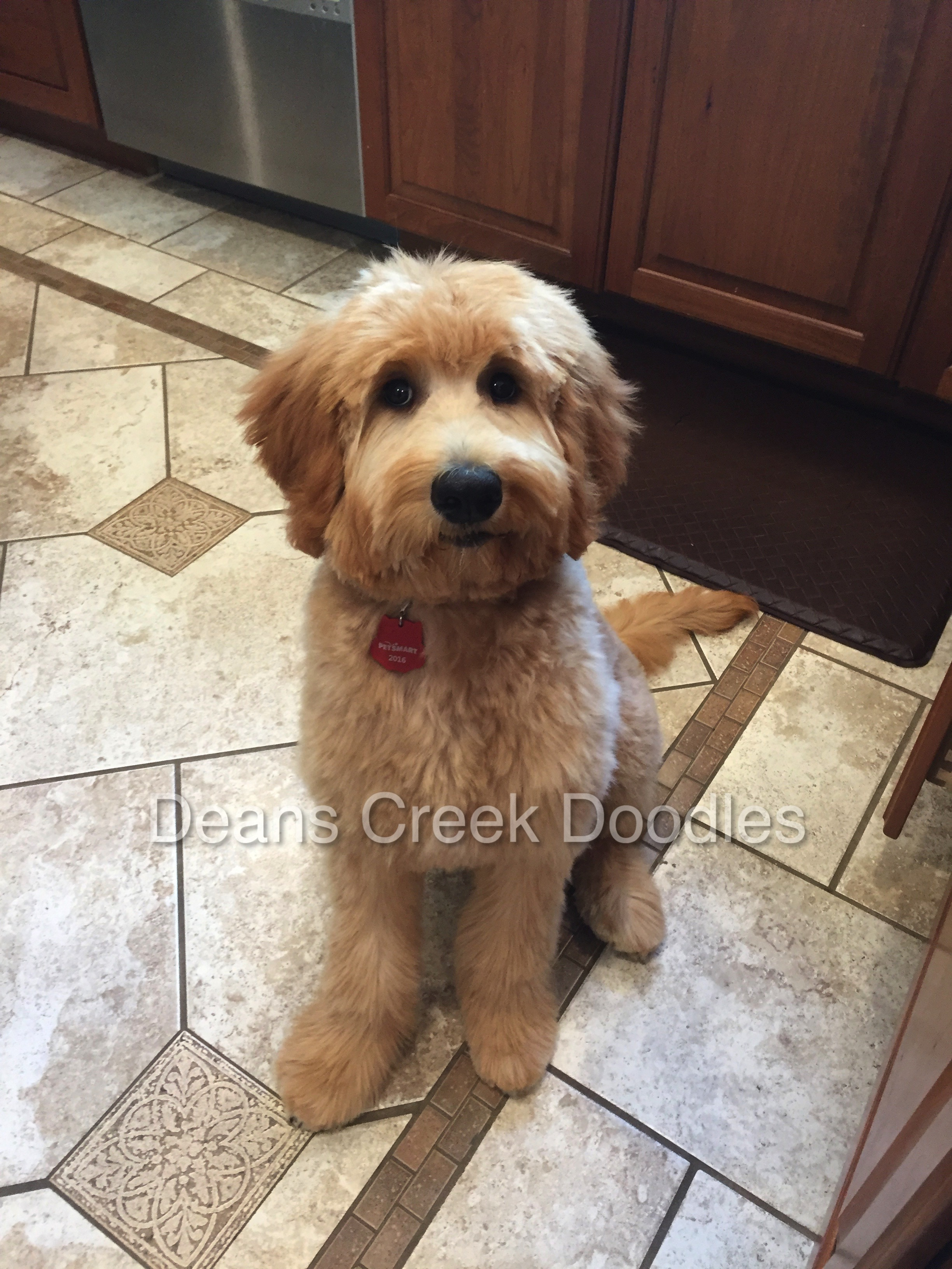 Goldendoodle Puppies At Deans Creek Doodles Deans Creek