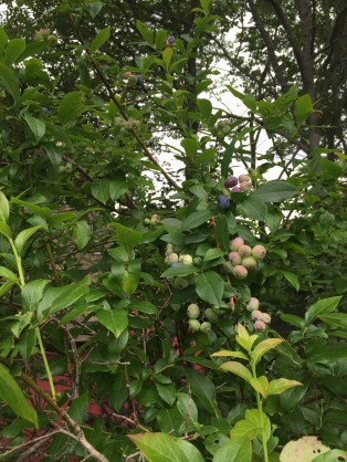 Our highbush blueberries.