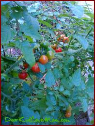 Tomatoes ripe for picking in October DearKidLoveMom.com