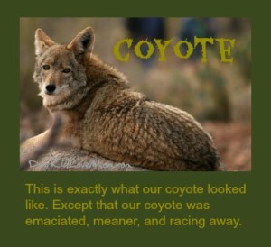 Coyote. The kind that run across your front lawn are scarier. DearKidLoveMom.com