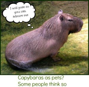 Capybaras as pets? Some people think so. DearKidLoveMom.com