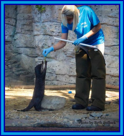 Look how well I've trained this human. Nita, the Asian Small Clawed Otter Newport Aquarium. DearKidLoveMom.com