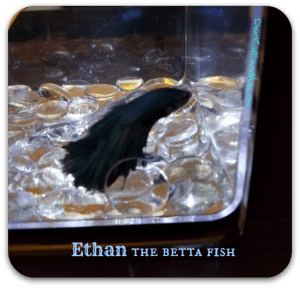 Ethan the betta fish. DearKidLoveMom.com Do you know this about bettas?
