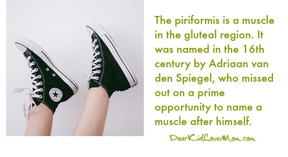 The piriformis is a muscle in the gluteal region. It was named in the 16th century by Adriaan van den Spiegel, who missed out on a prime opportunity to name a muscle after himself.  DearKidLoveMom.com