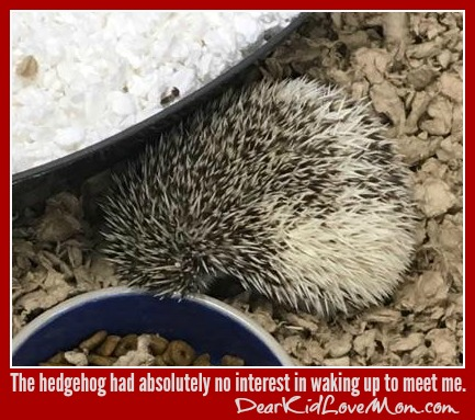 The hedgehog had absolutely no interest in waking up to meet me. DearKidLoveMom.com
