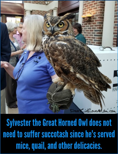Sylvester the Great Horned Owl does not need to suffer succotash since he's served mice, quail, and other delicacies. DearKidLoveMom.com