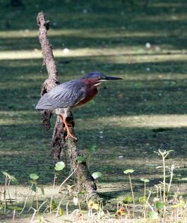 Green Heron at Brazos Bend