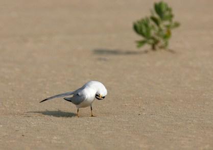 A curious Least Tern