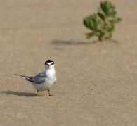 Least Tern in breeding season