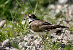 Killdeer at Anahuac National Wildlife Refuge
