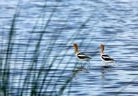 American Avocets on Gator Nest Pond