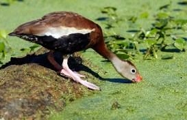 A Black-bellied Whistling-Duck dabbles on pond vegetation