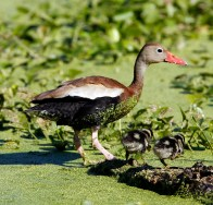 Black-bellied Whistling Duck and family